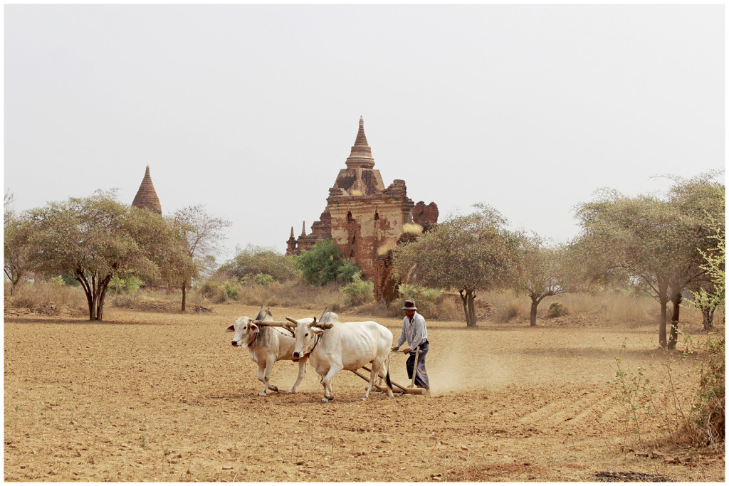 Farming between Bagan's temples