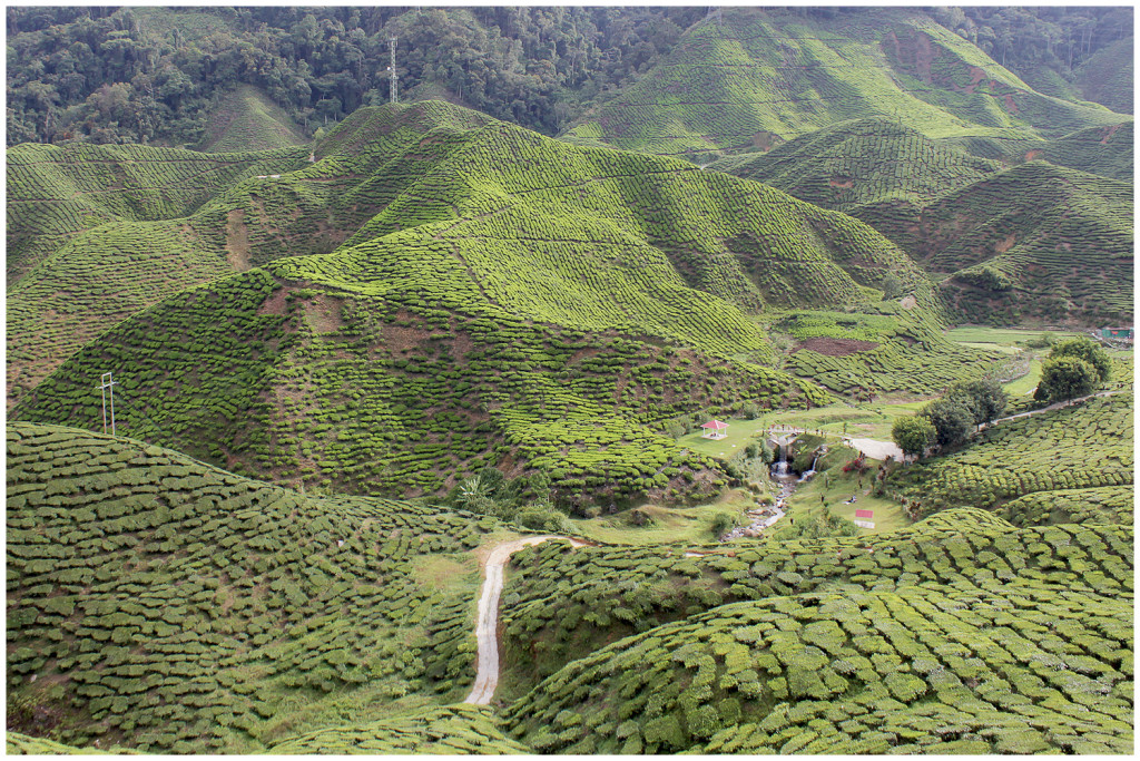 Hills filled with tea in the Cameron Highlands